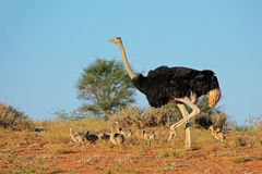 Ostrich with chicks Stock Photos