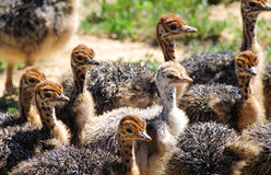 Ostrich chicks in South Africa Royalty Free Stock Images