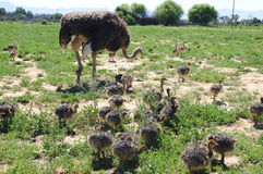 Ostrich chicks with their mother Royalty Free Stock Photo