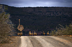 Ostrich and chicks walking Stock Photography