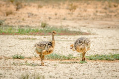 Ostrich chicks walking in the sand. Stock Photography