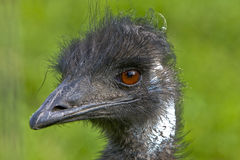 Ostrich - close up Royalty Free Stock Photos