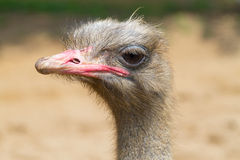 Ostrich close-up Royalty Free Stock Photo