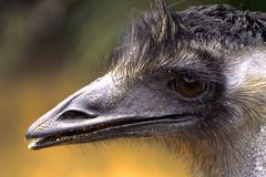 The ostrich close-up Royalty Free Stock Photo
