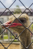 Ostrich close-up. Beautiful funny ostrich close-up of the fence Royalty Free Stock Photography