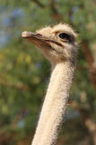 Ostrich close-up Stock Photos