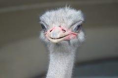 Ostrich close-up. An ostrich close-up flightless bird Stock Photography