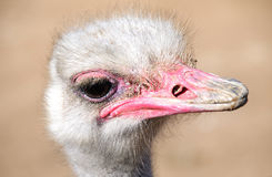 Ostrich close up Royalty Free Stock Photography