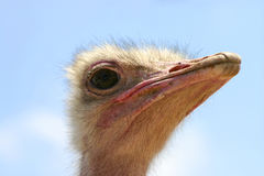Ostrich, Royalty Free Stock Photos