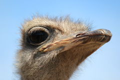Ostrich close-up Stock Photography