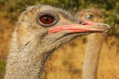 Ostrich Closeup. A closeup of an ostrich face Stock Photography