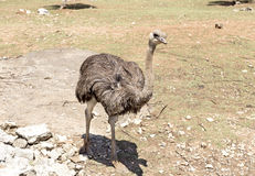 The ostrich closeup Stock Images