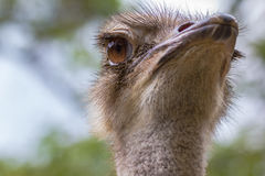 Ostrich. Closeup of the face of an ostrich looking Staring Royalty Free Stock Image