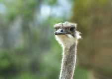 Ostrich closeup of Head. An ostrich standing with a closeup of head Royalty Free Stock Photo