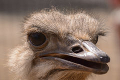 Ostrich. Closeup of ostrich head with big eyes and lashes Royalty Free Stock Images