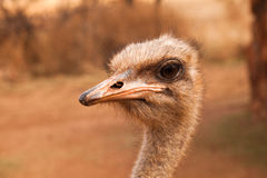 Ostrich. Closeup portrait of an African ostrich Royalty Free Stock Images