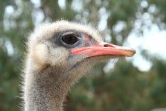 Ostrich Head - Closeup Royalty Free Stock Photos