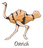 Ostrich, Color Illustration Stock Images