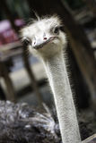 The Ostrich or Common Ostrich  is either one or two species of l Royalty Free Stock Image