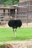 Ostrich or common ostrich. The ostrich or common ostrich (Struthio camelus) is either one or two species of large flightless birds native to Africa, the only Royalty Free Stock Photos