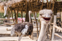 Ostrich in corrol Royalty Free Stock Photos