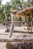 Ostrich in corrol Stock Photography
