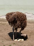 Ostrich Counts The Eggs. Ostrich in the zoo checking the number of eggs Royalty Free Stock Image