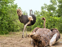 Ostrich couple nests on dusty ground Stock Photos