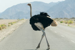 Ostrich crossing a tared road. Royalty Free Stock Photos