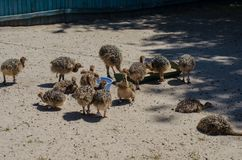 Little ostriches in the ostrich farm in Yasnohorodka, Ukraine Royalty Free Stock Photography