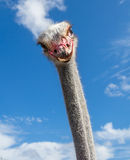 Ostrich Curacao Views Royalty Free Stock Image