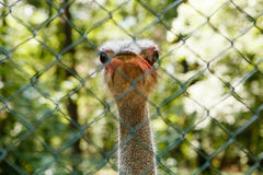 Ostrich. Curious ostrich, behing the fence, from Tirgu Mures Zoo, Romania Stock Images