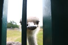 Ostrich in daylight royalty free stock photography
