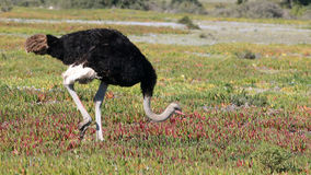 Ostrich, De Hoop Nature Reserve Royalty Free Stock Image