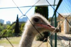 Ostrich in Dendrarium of Sochi, Russia Stock Image