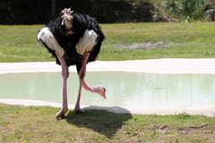 Ostrich Drinking Water Royalty Free Stock Photos