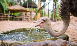 Ostrich drinking water Royalty Free Stock Images