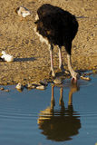 Ostrich drinking water. Royalty Free Stock Photo