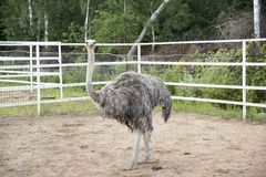 Ostrich with dry arid landscape and trees. On the background Royalty Free Stock Photo