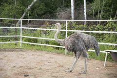 Ostrich with dry arid landscape and trees. On the background Royalty Free Stock Photography