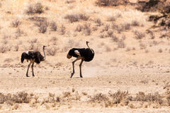 Ostrich in dry Kgalagadi park, South Africa stock photo