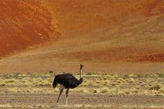 Ostrich dunes Royalty Free Stock Photography