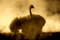 Ostrich in dust. An ostrich (Struthio camelus) taking a dust bath, Kalahari, South Africa Stock Photography