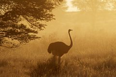 Ostrich in dust. Ostrich (Struthio camelus) in dust, early morning, Kalahari desert, South Africa Royalty Free Stock Photography