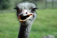 Ostrich in the Eastern Cape Stock Photography