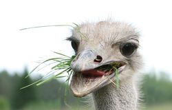 Ostrich eating. Green tasty grass Royalty Free Stock Image