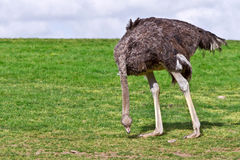 Ostrich eating grass Royalty Free Stock Photography