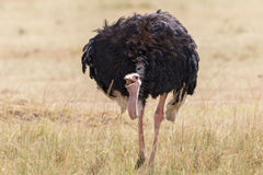 Ostrich eating seeds Stock Photography