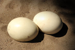 Ostrich egg Stock Image