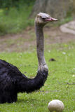 Ostrich with egg. Close to her Stock Images
